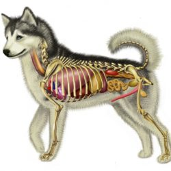 Anatomie van de hond